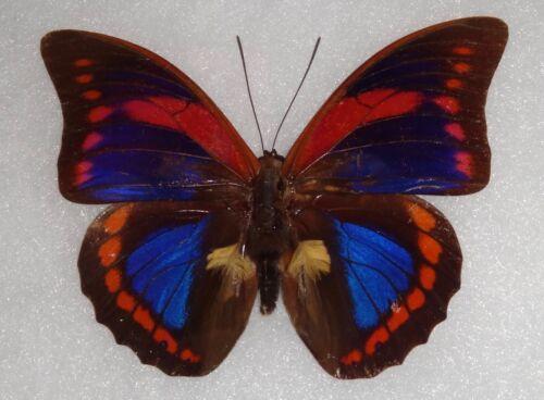 RARITY FRAMED Prepona buckleyana Bolivia Butterfly Display Insect Taxidermy