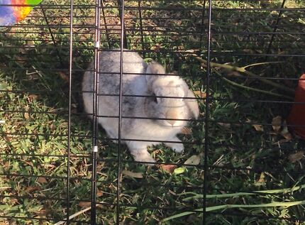 Lost grey rabbit/bunny mayfield Mayfield East Newcastle Area Preview