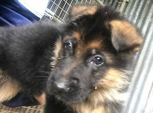 German blood. Excellent puppies ! Bargo Wollondilly Area Preview
