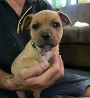 Pure Bred English Staffordshire Bull Terrier pups -males only now