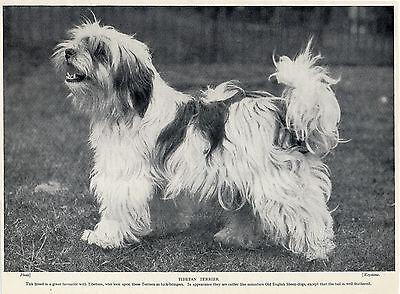 TIBETAN TERRIER LOVELY OLD ORIGINAL DOG PRINT FROM 1934
