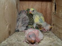 Do you have baby birds you can raise for whatever reason Beachmere Caboolture Area Preview