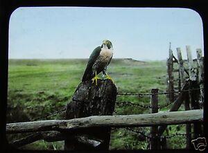 Glass-Magic-Lantern-Slide-EUROPEAN-BIRDS-OF-PREY-NO14-ORNITHOLOGY-PHOTO
