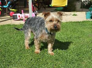 Hank needs a new home -Australian Silky Terrier Ridgehaven Tea Tree Gully Area Preview