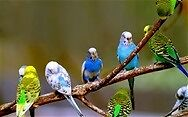 budgies for sale £20hens 15 males well looked after and nice colours