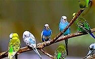 budgies for sale all ages from young to older birds also a large cage nice condition£15 for cocks