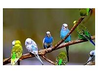 budgies for sale all colours also one cage with stand £20