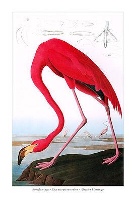 Rosaflamingo Phoenicopterus ruber Greater Flamingo Flamingos Audubon A3 046