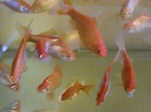 Goldfish Comet Perfect for Fish Pond or Tank 16cm Long Approx.