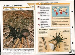 """Ctenizidae Araignée mygale fouisseuse noire Trapdoor Spider Insect FICHE FRANCE - France - PORT GRATUIT A PARTIR DE 4 OBJETS BUY 4 ITEMS AND WORLDWIDE SHIPPING IS FREE EXCEPT USA, CANADA, AMERICA ONLY TRACKING MAIL FICHE TECHNIQUE, SPECIFICATION SHEET PAPIER GLACÉ, GLAZED PAPER RECTO-VERSO FORMAT 35 CM X 23,5 CM SIZE : 12.06"""" X 8.28""""  - France"""