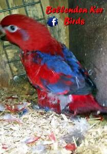 Moluccan Red Lorys Cairns Cairns City Preview