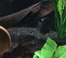 Blue and green Severum breeding pair Pearsall Wanneroo Area Preview