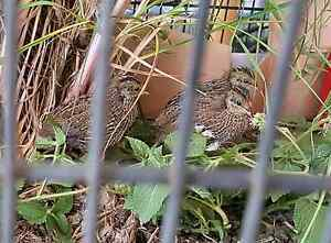 3 Young Quail Nerang Gold Coast West Preview