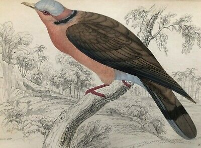 1837 Swainson Ornathology Engraving RED EYED PIGEON Bird Hand Print