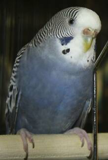 Adult Budgie Male or Female Westmead Parramatta Area Preview