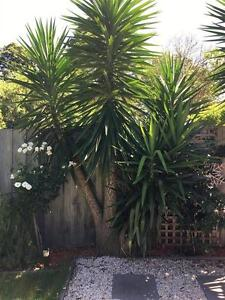 8 Mature Yuccas - 4-6 metres Brighton East Bayside Area Preview