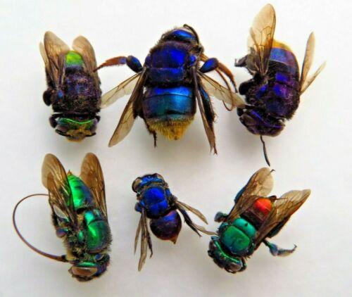 LOT OF 6 HYMENOPTERA BEE SP RARE UNMOUNTED FROM ATALAYA-PERU AMAZING COLORS