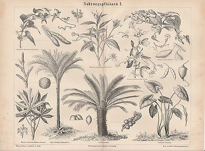 Nahrungspflanzen Sagopalmfarne Erdnuss Yams HOLZSTICHE von 1877 Manihot