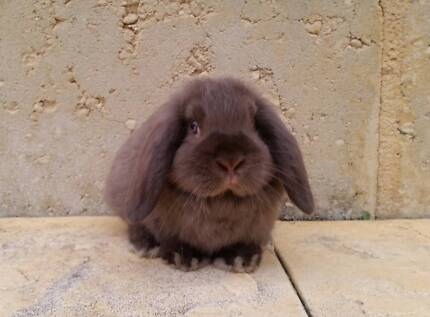 READY NOW - Mini Lop Rabbit Baby - Vaccinated, Ball of Fluff!