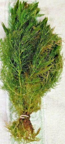 Bunched Hornwort Live Aquarium Stem Plants (Ceratophyllum demersum)