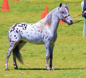 """""""Pixie Valley Out Of Africa"""" Black leopard Appaloosa. Forest Grove Margaret River Area Preview"""