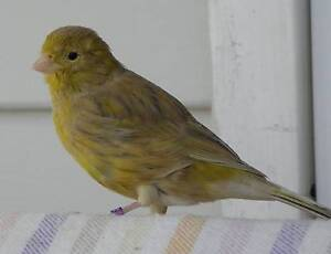 Young Canaries For Sale! Cooma Cooma-Monaro Area Preview