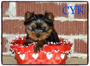 Ckc reg Yorkshire terriers available - 2 males only