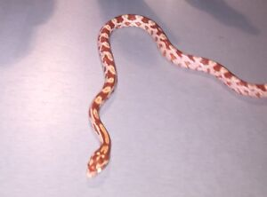 Trade a baby corn snake for a bearded dragon.