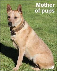 Stumpy Tail Cattle Dog/ Stumpy Heeler Cross Moyhu Wangaratta Area Preview