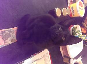 Fully black kitten needing loving home Reynella Morphett Vale Area Preview