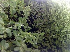 **SUPERFOOD** MICROGREENS 50g Assorted Rochedale South Brisbane South East Preview