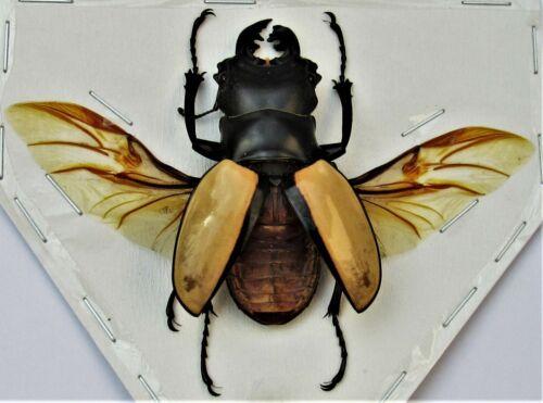 Indonesian Stag Beetle Odontolabis ludekingi Spread Male FAST FROM USA