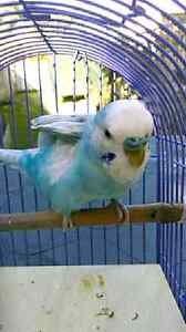 Sky blue spangle with opalescence Male Budgie Bray Park Pine Rivers Area Preview