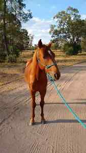 Stock horse yearling colt Dalby Dalby Area Preview
