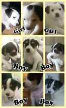 Jack Russell x foxy pups Tooraweenah Gilgandra Area Preview