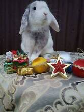 ❤Quality Mini Lop Magpie Boy •~ Romeo ~• Rabbitry Reduction. ❤ Cundletown Greater Taree Area Preview