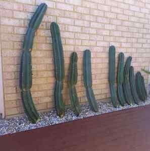 Cactus various sizes Halls Head Mandurah Area Preview