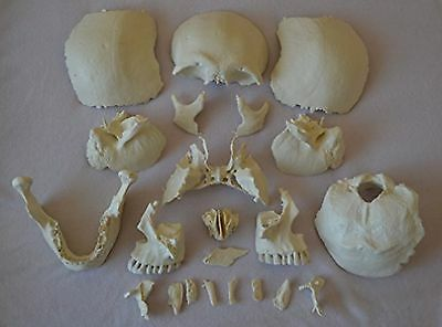 Wellden Product Human Medical Anatomical Adult Osteopathic Skull Model, 22-Part