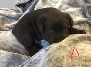 Purebred Lab Puppies Looking for their Forever Families :)