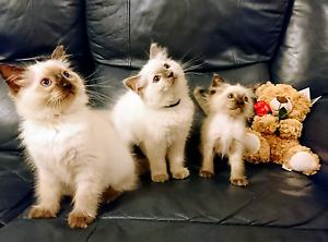 Beautiful Ragdolls kittens Seymour Mitchell Area Preview