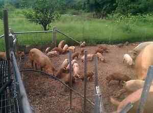 Free range pigs per kilo Australia Preview