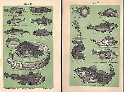Fische I - IV Seehase Seeteufel Wels Schellfisch Hornhecht Lithographie um 1900