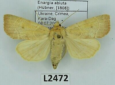 Noctuidae, Enargia abluta, A1, Ukraine