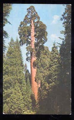 GIANT REDWOOD TREE Postcard California 1969 Unused