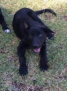 Border Collie/ Kelpie Cross Pup