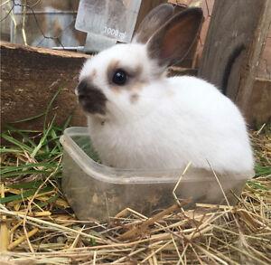 7 week old Netherland Dwarf Rabbits Mentone Kingston Area Preview