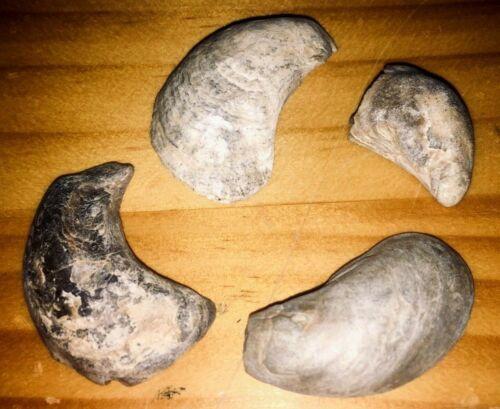 Montana Fossil Bivalves Veloritina sp. Judith River Fm. Cretaceous Lot Shells