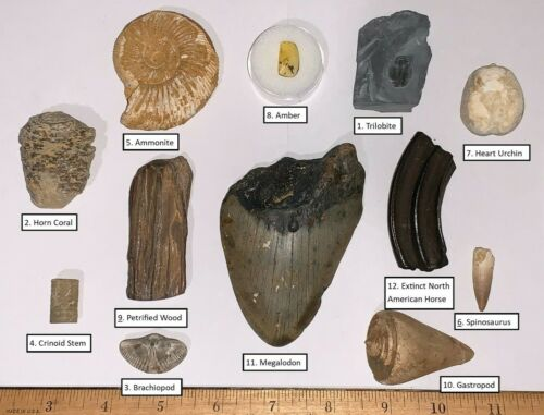Labeled 12 Fossil Collection MEGALODON DINOSAUR TOOTH HORSE TOOTH and MORE!!!