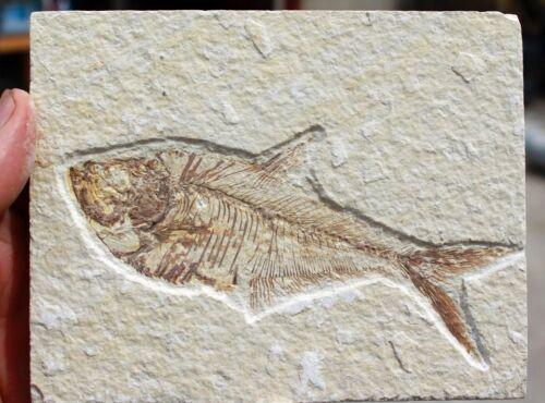 """Diplomystus dentatus  • 5.0"""" Fossil Fish w/Poop Imprint"""