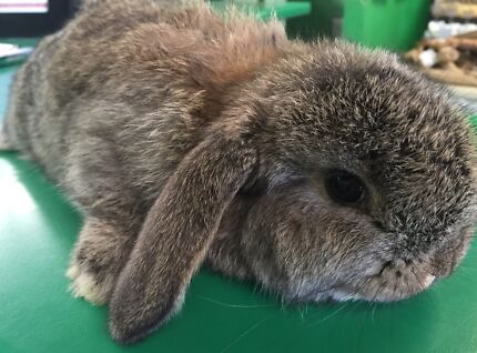 Gorgeous pure bred mini lop baby bunny South Penrith Penrith Area Preview